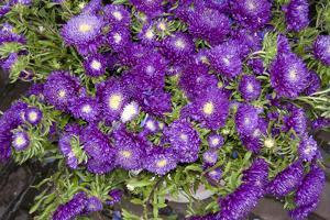 Purple Stars I by Maureen Love