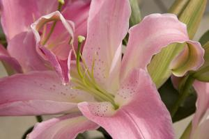 Soft Pink Lily I by Maureen Love