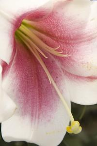 Soft Pink Lily II by Maureen Love