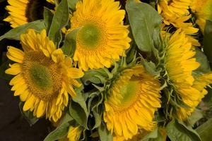Sunflower I by Maureen Love