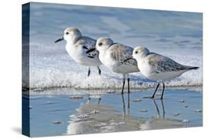 Three Sanderling Sampipers in Line by Maureen P Sullivan