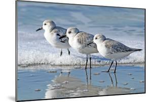 Three Sanderling Sampipers in Line by Maureen P Sullivan