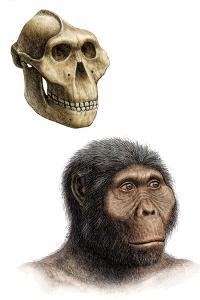 Australopithecus Boisei by Mauricio Anton