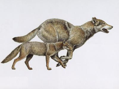 Extinct Dog Ancestor Eucyon, and Today's Gray Wolf by Mauricio Anton