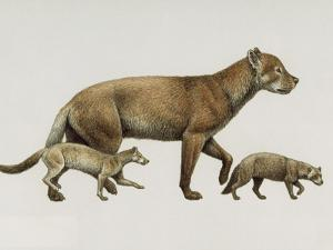 Extinct Dog Ancestors Archaeocyon, Phlaocyon, and Borophagus by Mauricio Anton