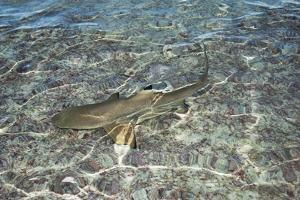 A Blacktip Reef Shark Searches for Food in Shallow Waters of the Inside Lagoon of Millennium Atoll by Mauricio Handler
