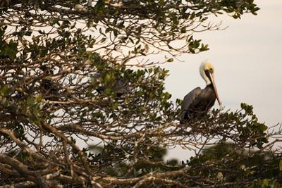 A Brown Pelican Returns to Roost on One of Many Outer Mangrove Islands by Mauricio Handler