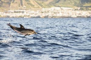 A Common Dolphin Frolics on the Surface Just Off the Shore by Mauricio Handler