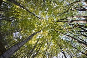 A Forest Tree Canopy in Rockport, Maine by Mauricio Handler