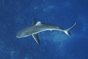 A Gray Reef Shark Patrols in the Pristine Waters Off Millennium Atoll by Mauricio Handler