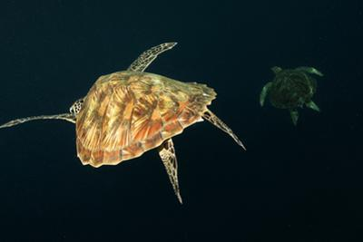 A Green Sea Turtle Swims in Open Water Offshore after Being Flushed Out of Shallows During Low Tide by Mauricio Handler