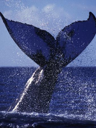 A Humpback Whale Slams its Tail Sending Sound Waves to Attract a Mate by Mauricio Handler
