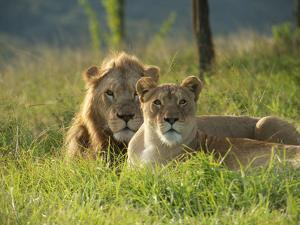 A Male and Female Lion Rest in the Grass by Mauricio Handler