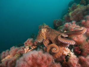 A Pacific Giant Octopus Crawls over a Colorful Anemone Filled Bottom by Mauricio Handler