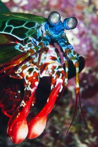 A Peacock Praying Mantis Shrimp Rests on a Coral Ledge Off Mabul Island, Sabah, Malaysia by Mauricio Handler