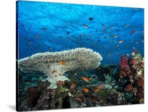 A Pristine Coral Reef Scene Off the Coast of Viti Levu Island by Mauricio Handler