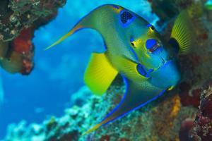 A Queen Angelfish under a Ledge Off Cooper Island, British Virgin Islands by Mauricio Handler