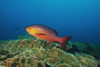 A Red Snapper Cruises over a Pristine Fringing Coral Reef Off Millennium Atoll by Mauricio Handler