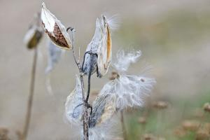 A Reed with its Seeds Exposed to the Elements by Mauricio Handler