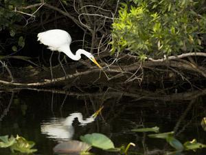 A White Egret Hunting in the Shadows in a Swamp by Mauricio Handler