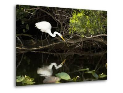 A White Egret Hunting in the Shadows in a Swamp
