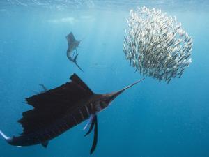 Atlantic Sailfish Attack and Surround a Baitball of Sardines by Mauricio Handler
