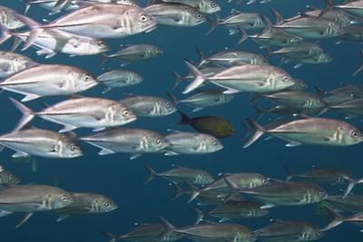 Bigeye Trevally Fish Congregate in Large Schools During Low Tide Off by Mauricio Handler