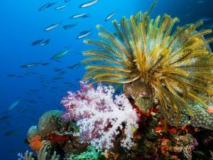 Chrinoid and a Soft Coral Tree Decorate the Edge of a Coral Reef by Mauricio Handler