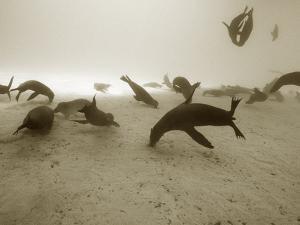 Galapagos Sea Lion,Zalophus Wollebaeki Starving in an El Nino Year by Mauricio Handler