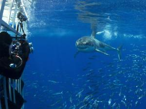 Great White Shark Swims Close to Divers in a Cage by Mauricio Handler
