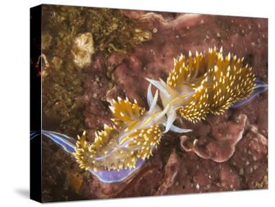 Head-On Combat Between Two Large Predatory Horned Aeolid Nudibranchs