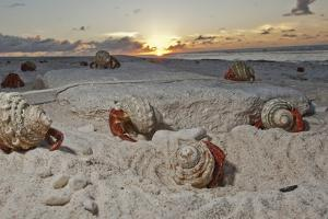 Hermit Crabs Crawl on a Sandy Beach on the Deserted Starbuck Island in the Southern Line Islands by Mauricio Handler
