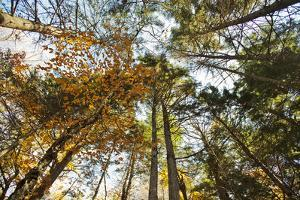 Looking Up at a Forest Tree Canopy by Mauricio Handler