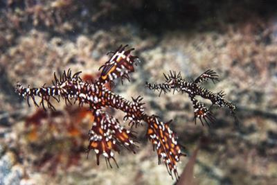 Ornate Ghost Pipefish, the Female Is the Large and the Male Is the Small by Mauricio Handler
