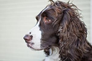 Portrait of an English Springer Spaniel by Mauricio Handler