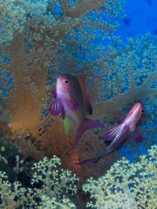 Threadfin Anthias, Pseudanthias Huchti Swim Amongst Soft Corals by Mauricio Handler