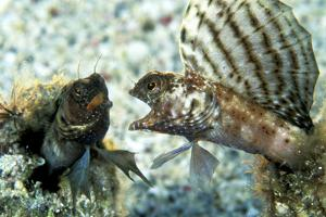 Two Sailfin Blennies Fighting Off Norman Island by Mauricio Handler