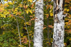 White Birch Tree Trunks Surrounded by Yellow and Green Foliage in the Fall by Mauricio Handler