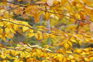 Yellow Autumn Leaves on a Silver Birch by Mauricio Handler
