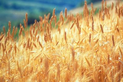 Field of Organically-grown Wheat (Triticum Sp.)
