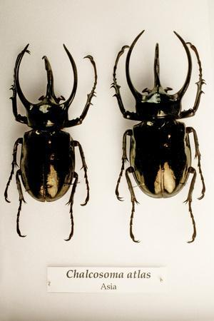 Mounted Scarab Beetles