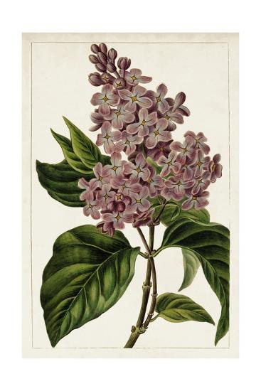 Mauve Botanicals IV-0 Unknown-Art Print