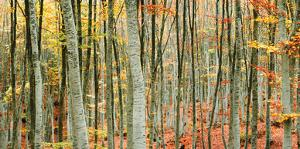 Beech Forest by Mavroudakis
