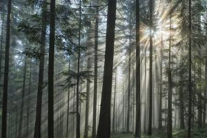 Sunrays Shining Through Fogged Out Forest by Mawpix