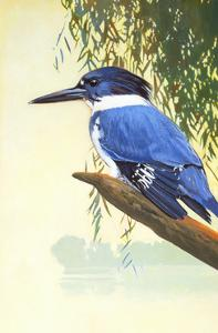 Belted Kingfisher by Max Hayslette