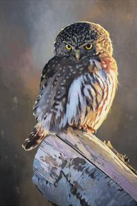 Northern Pygmy Owl by Max Hayslette