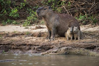 A Female Capybara and Pups on the Bank of the Cuiaba River