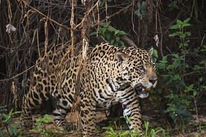 A Female Jaguar on the Bank of a Tributary of the Cuiaba River by Max Lowe