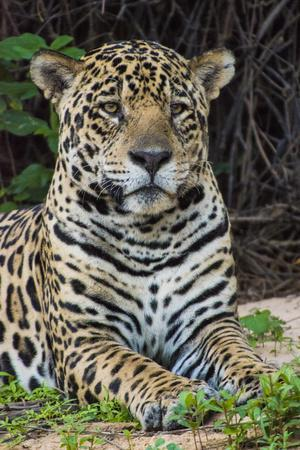 A Female Jaguar on the Bank of a Tributary of the Cuiaba River