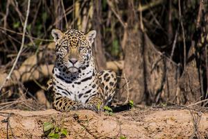 A Female Jaguar on the Bank of the Cuiaba River by Max Lowe